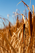 California Art - Cat Tails by Peter Tellone