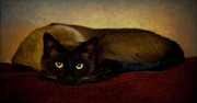 Siamese Photo Prints - Cat Print by Tim Reaves