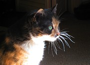 Cat Art Photos - Cat Whiskers by Sue Halstenberg