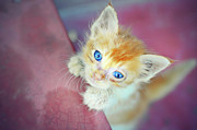 Blue Eyes Posters - Cat With Blue Eye Poster by Chandan Mitra