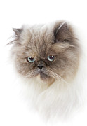 Domestic Animals Posters - Cat With Long Hair Poster by www.WM ArtPhoto.se