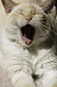 Red Point Siamese Posters - Cat Yawn Poster by Wendy White