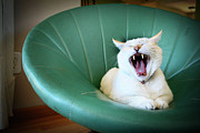 Yawning Framed Prints - Cat Yawning In A Vintage Blue Green Chair Framed Print by Carrie Anne Castillo