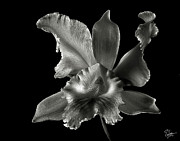 Flower Photos Metal Prints - Catalea Orchid in Black and White Metal Print by Endre Balogh
