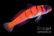 Ray-finned Fish Framed Prints - Catalina Goby Framed Print by Danté Fenolio