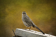 Bird Photo Framed Prints - Catbird Framed Print by Cindi Ressler