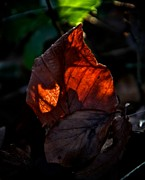 Fallen Leaf Photos - Catch A Fire by Odd Jeppesen