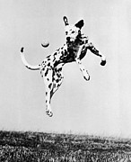 Dalmatian Dog Prints - Catch It Spotty Print by Three Lions