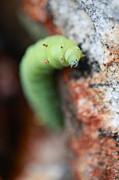 Caterpillar  Print by Pan Orsatti
