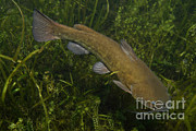 Freshwater Fish Posters - Catfish Protecting Her Young Poster by Ted Kinsman