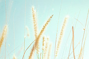 Santa Rosa Prints - Cattail Grass In Sunshine Print by JoyHey