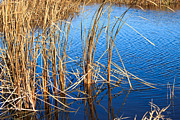 Park Scene Mixed Media Metal Prints - Cattail Reeds Metal Print by Ms Judi