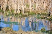 Cattails Photos - Cattail Reflections by Jan Amiss Photography