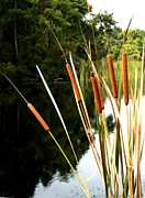 Theresa Willingham Posters - Cattails on the River Bank Poster by Theresa Willingham
