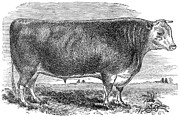 1880s Prints - CATTLE, c1880 Print by Granger