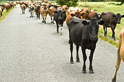 Nosy Prints - Cattle drive on a road  Print by Ulrich Schade