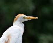 Birding Photos - Cattle Egret Close-Up by Al Powell Photography USA