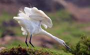 Pakistan Art - Cattle Egret by Mcb Bank Bhalwal