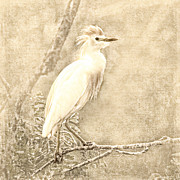 Cattle Digital Art Posters - Cattle Egret Mono Poster by Betty LaRue