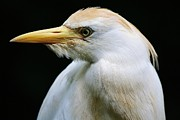Cattle Egret Print by Paulette  Thomas