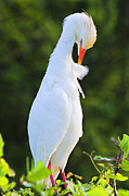 Breeding Posters - Cattle Egret- St Lucia Poster by Chester Williams