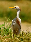 Cattle Egret With Closed Eyelid Print by Robert Frederick