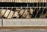 Cows Photos - Cattle Feeding in a Barn by Andy Smy