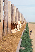 Cattle Ranch Prints - Cattle Feeding Print by Photo Researchers