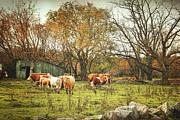 Dairy Farm Posters - Cattle gazing on remaining green grass Poster by Sandra Cunningham