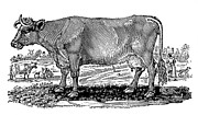 Bewick Prints - Cattle Print by Granger
