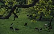 Thru Posters - Cattle Grassing In Basildon Park Poster by Axiom Photographic