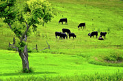 Black Angus Framed Prints - Cattle Grazing Framed Print by Lyle  Huisken