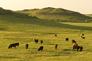 Steer Framed Prints - Cattle Grazing On The Hills Framed Print by Phil Schermeister
