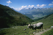 Engadin Valley Posters - Cattle On A Hillside With The Town Poster by Taylor S. Kennedy
