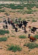 Las Cruces New Mexico Prints - Cattle Round Print by Photo Researchers