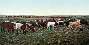 Photochrom Photos - Cattle Round Up, Bunching The Herd by Everett
