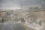 Dust Clouds Prints - Cattle Round-up, Caribou National Print by Raymond Gehman