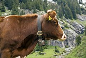 Cowbell Prints - Cattle, Switzerland Print by Bob Gibbons