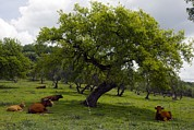 Quercus Prints - Cattle Under A Holm Oak Tree Print by Bob Gibbons