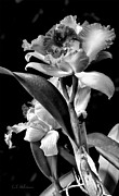 Cattleya Photo Prints - Cattleya - BW Print by Christopher Holmes