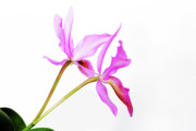 Cattleya Photo Framed Prints - Cattleya guatemalensis Framed Print by Charline Xia