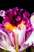 Cattleya II Print by Christopher Holmes