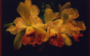 Cattleya Prints - Cattleya Orchid Print by Carolyn Sterling