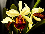 Best Selling Posters - Cattleya Too Poster by Shere Crossman