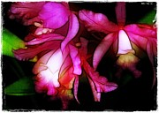 Orchid Show Framed Prints - Cattleyas Framed Print by Judi Bagwell