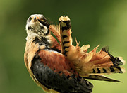 Caught In The Act  American Kestrel Pruning Print by Inspired Nature Photography By Shelley Myke