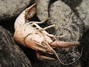 Crawfish Art - Caught in the Rocks by Amanda Jastrzebski