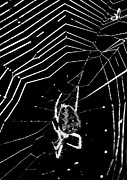 Spider And Fly Prints - Caught in The web Print by Darren Burroughs