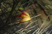 Fallen Leaf Photos - Caught In The Wind by Donna Blackhall