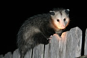 Possum Photos - Caught by Susana Maria  Rosende